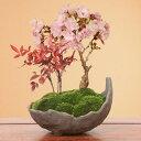 桜盆栽:桜・南天寄せ植え(くらま鉢)*【2021年開花】【送料無料】【さくら盆栽】【あす楽対応】自宅でお花見