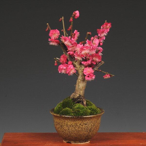 小品盆栽:紅梅(信楽焼小鉢)*...:yukei:10004493