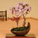 桜盆栽:桜・南天寄せ植え*【送料無料】【さくら盆栽】【あす楽対応】