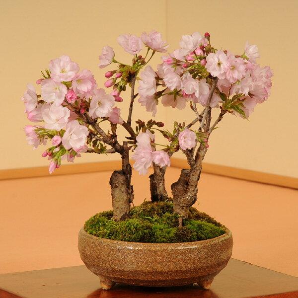 盆栽:旭山桜3本仕立て(信楽焼鉢)*【葉桜でお届け】...:yukei:10001462