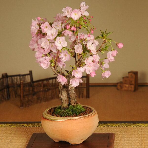 盆栽:旭山桜2本仕立て(信楽焼鉢)*【葉桜でお届け】