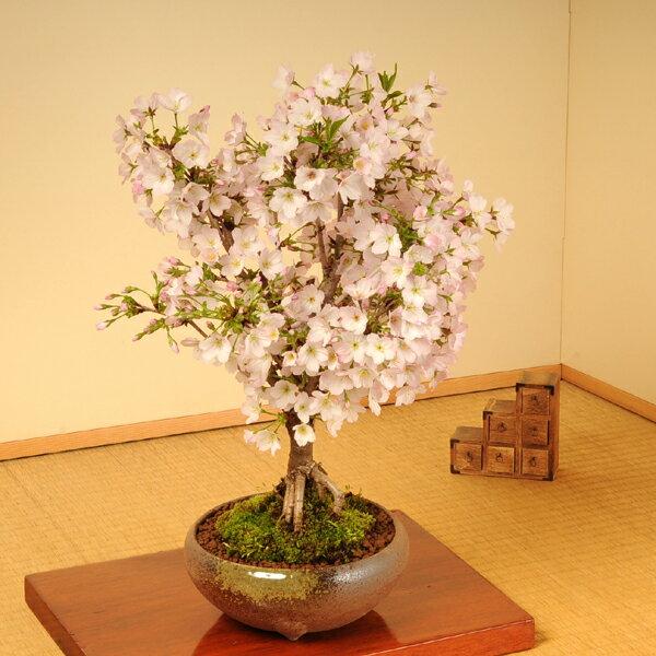 御殿場桜(大・瀬戸焼鉢)