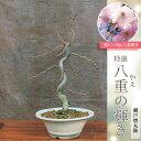 桜盆栽:桜(八重の輝き)(瀬戸焼丸鉢)*Sakura 【2021年春開花】【送料無料】【さくら盆栽】自宅でお花見