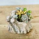 おしゃれ 観葉植物:多肉植物寄せ植え*切株風鉢