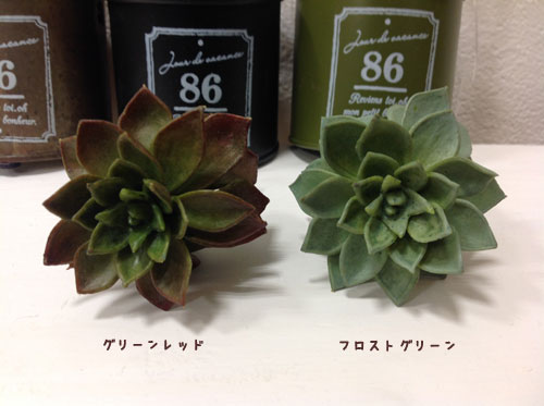 サッカレンテン A-41826 多肉植物 アートフラワー 造花 イミテーションフラワー