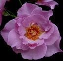北海道 ア ラ シ 大苗 4号ポット 中輪 房咲 ラベンダーピンク 薔薇 苗 アラシ 米3 水谷農園