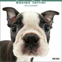 2016年度版 THE DOG カレンダー ボストン・テリア