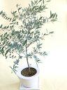 オリーブの木 優しさあふれるシルバーリーフインテリアとして飾りたい白陶器 鉢植えの画像
