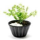 ブリザードグリーン ミニ盆栽 アジアンタム×モス こぼん/KOBON 観葉植物 アルタ 12×10.5×8.5cm
