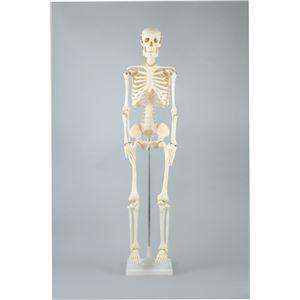 アーテック 人体骨格模型 85cm