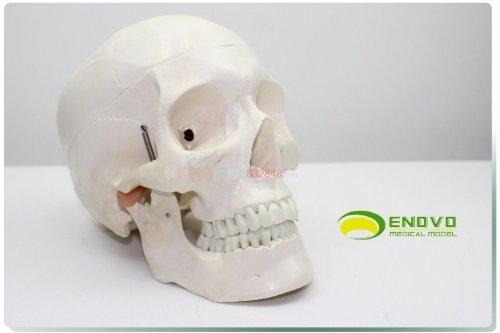 【送料無料】人体模型 精密 医療用 頭蓋骨(脳)1:1モデル