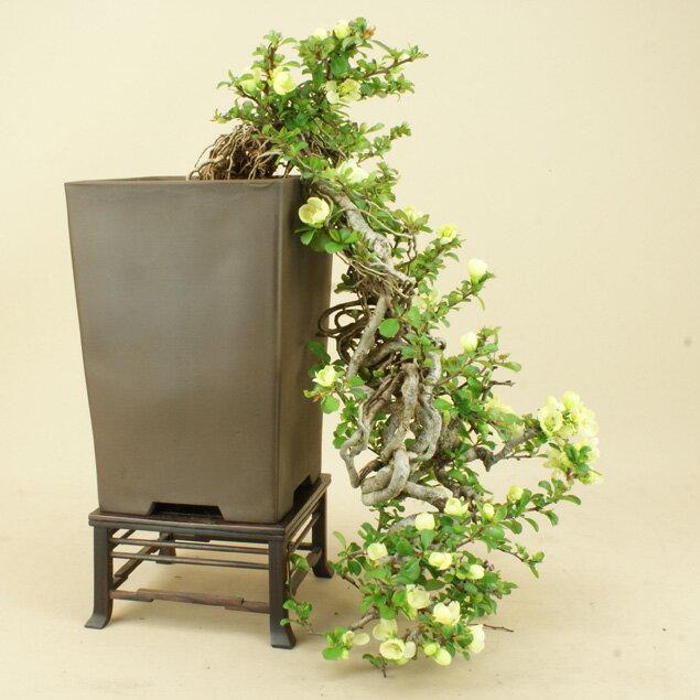 【送料無料】 長寿梅 中品盆栽 白花 【雑木盆栽】【いよじ園 伊予路園】