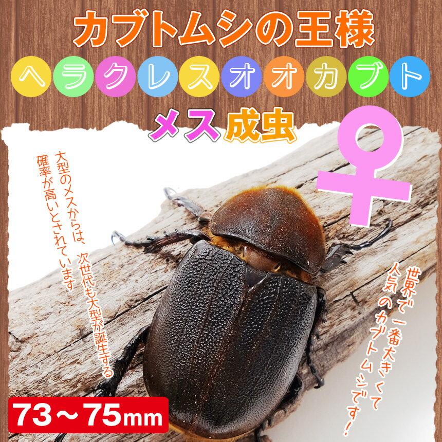 これはデカイ!ヘラクレスオオカブト成虫(ヘラクレスヘラクレス) メス73~75mm !