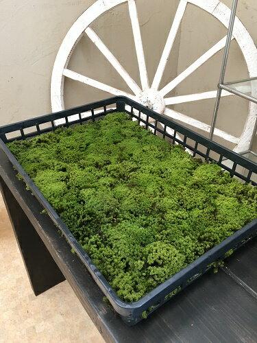 砂苔20トレー(約4平米分)苔 植栽 スナゴケ テラリウム ガーデニング ガーデン 庭 お庭 外構  エクステリア 育て方・苔の貼り方説明書付