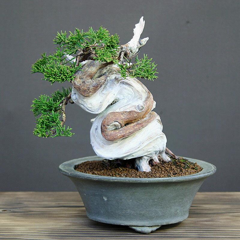 糸魚川真柏(シンパク)小品盆栽17cm【現品】