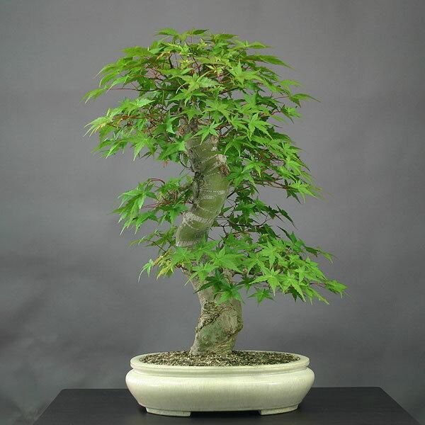 モミジ(紅千鳥)盆栽【現品】