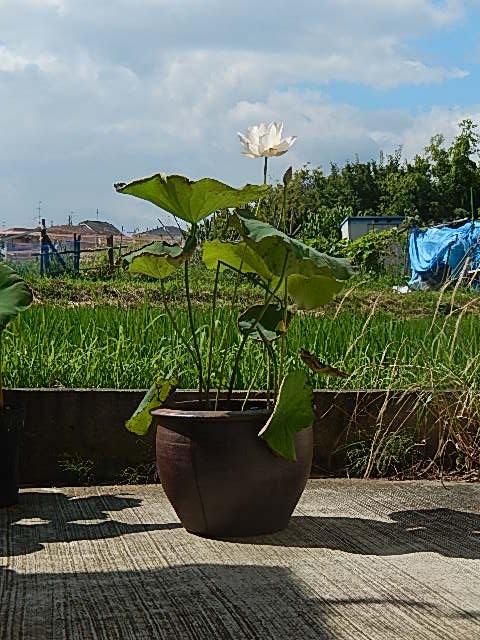 蓮鉢植え 金輪ハスの鉢植えです 極楽浄土のお花 ハスの花