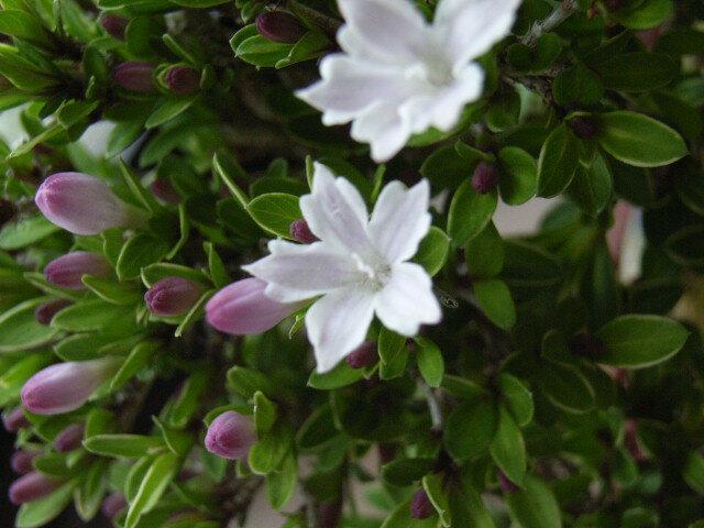 【ミニ盆栽】香丁木