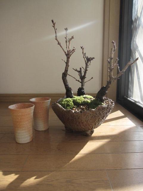 桜盆栽:桜の盛り合わせ 【送料無料】お花見乾杯二人サクラ盆栽炎彩 2017年花芽付の桜盆栽となります。