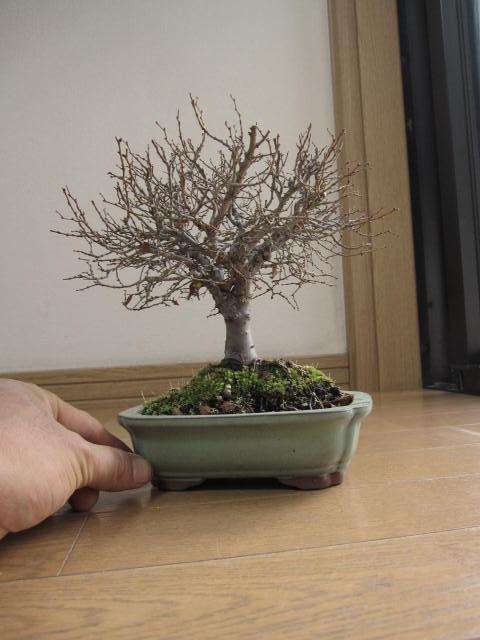 盆栽: けやき盆栽 欅盆栽小品盆栽