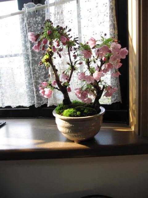 桜盆栽:ツイン桜アイフルセット盆栽一才桜 2本植え旭山桜盆栽桜盆栽信楽鉢入り2017年花芽付の桜盆栽となります。送料無料