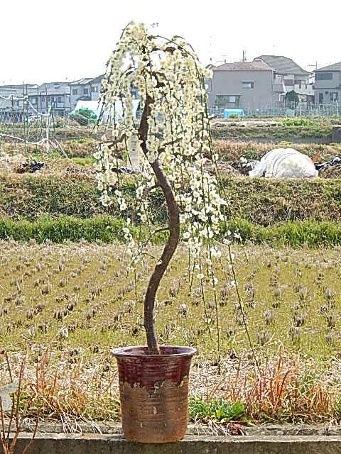 白色しだれ梅【しだれ梅】鉢植え信楽焼 特大しだれ梅。