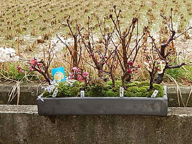 盆栽桜の方舟桜盆栽幸福 梅桜寄せ植え盆栽お届けは葉桜盆栽となります。