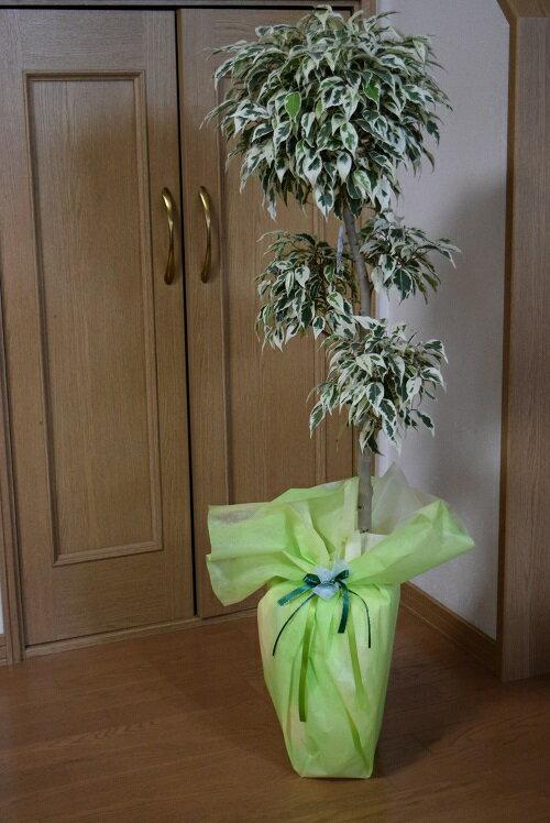 お祝いのプレゼントに【ギフトに最適】ベンジャミンスターライトリビングの観葉植物にお勧めです。