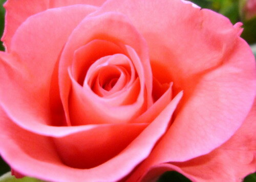 【送料無料(一部地域を除く)】ピンクのバラ60本の花束☆満点のボリューム☆国産の薔薇の中でもその季節ごとに品質の良い産地を特選し、選び抜いたピンクバラをセンスよく束ねました。