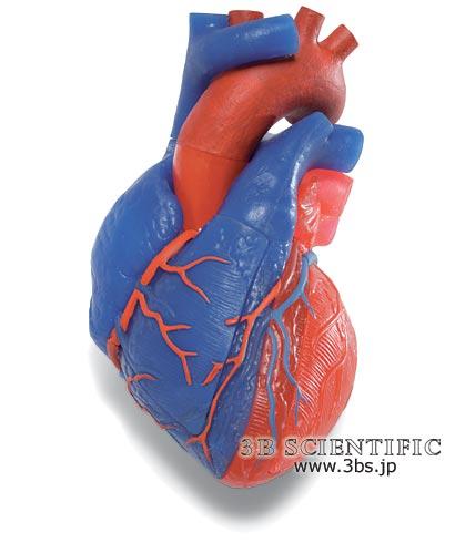 【送料無料】【無料健康相談 対象製品】世界基準 3Bサイエンフィティック社心臓、動・静脈血区分、5分解モデル 【fsp2124-6m】【02P06Aug16】