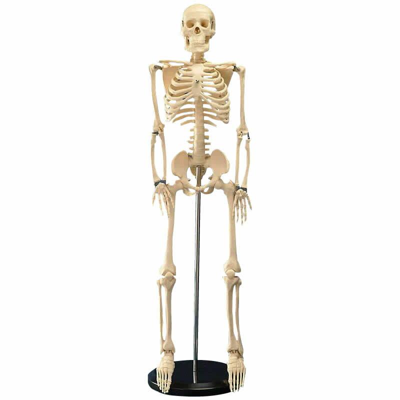 スケール・測定 人体模型シリーズ 人体骨格模型85cm