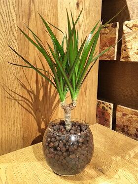 ドラセナコンシンネ観葉植物マジナータ真実の木ハイドロカルチャーモダンラウンドグラス観葉ミニギフト