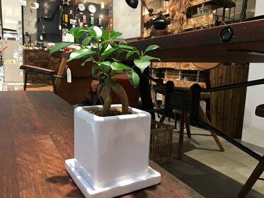 【送料無料】ガジュマル観葉植物鉢植えホワイトキューブポット陶器鉢【ガジュマルの木観葉植物風水多幸の木ギフトデスク】