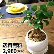 【送料無料】ガジュマル 観葉植物 鉢植え ホワイトサークルポット 陶器鉢【ガジュマルの木 観葉植物 風水 多幸の木 デスク ギフト】