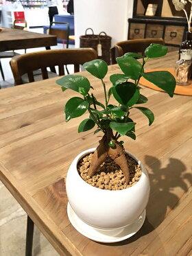 【送料無料】ガジュマル観葉植物鉢植えホワイトサークルポット陶器鉢【ガジュマルの木観葉植物風水多幸の木デスクギフト】