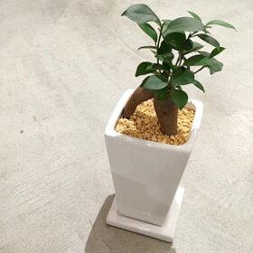 【送料無料】ガジュマル観葉植物精霊の宿る木ホワイトトールポット/【鉢植え観葉植物ガジュマルの木多幸の木陶器デスク誕生日風水ギフト】