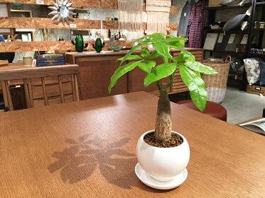 """育成も比較的簡単な人気の観葉植物""""パキラ"""""""