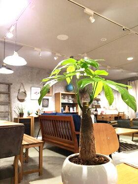 【送料無料】パキラ観葉植物鉢植えホワイトサークルインテリアミニ観葉陶器ギフト誕生日風水