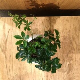【送料無料】シュガーバインハイドロカルチャー観葉植物ホワイトラウンド【シュガーパイン観葉植物ハイドロカルチャーミニ開店祝い新築祝い誕生日簡単丈夫風水ギフト】