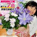 7色から選べる クレマチス 5号サイズ 鉢植え 母の日 プレゼント 特大ボリューム満点 送料無料 鉢花 母の日ギフトフラワー 花 鉢植え ギフト母の日 送料込 母の日 2021年・・・