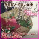 啓翁桜 山形 千両 桜 千両 花束 特級120cm 4〜5本入り 桜の...