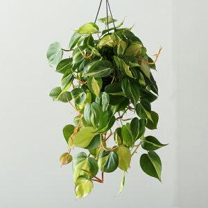 [吊り下げ]フィロデンドロン・ブラジル(おしゃれな観葉植物/初心者向け/日陰/丈夫で強くて簡単/プラスチック吊り鉢・受皿なし)