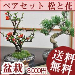 ペアギフト盆栽 お花と松の盆栽セット いつまでも二人で仲良く元気で 盆栽ギフト【…