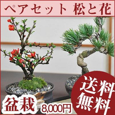 ペアセット 長寿梅と五葉松の盆栽【ペアギフト盆栽 お花と松の盆栽セット いつまでも二人で仲良く...