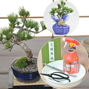 First Bonsai Goto pine and tool set 7 years old solid bonsai Bonsai scissors with excellent sharpness