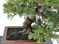 【一点物匠の盆栽】糸魚川真柏