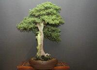 【一点物匠の盆栽】山採り杜松大品盆栽樹齢80年