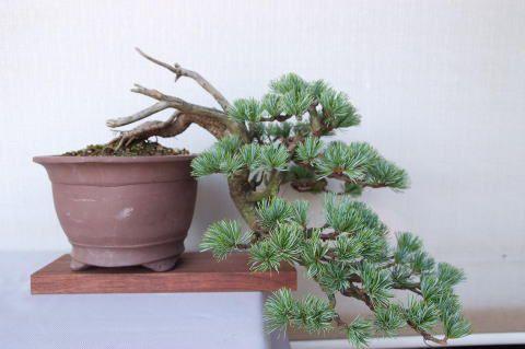 【一点物 匠の盆栽】五葉松 No.89【本格 至高 職人 伝統工芸 現品 本物 究極 盆栽園bonsaiボンサイぼんさい松柏】:盆栽妙