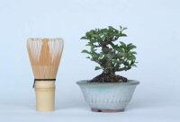 【一点物匠の盆栽】長寿梅No.127