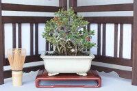 【一点物匠の盆栽】長寿梅No.218